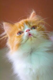 ##### แมวน้อยน่ารัก..ด.ช...สาย แชมป์ CFA...#####.